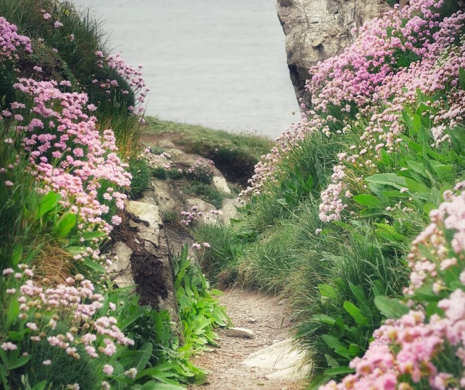 Thrift sea pinks in Cornwall